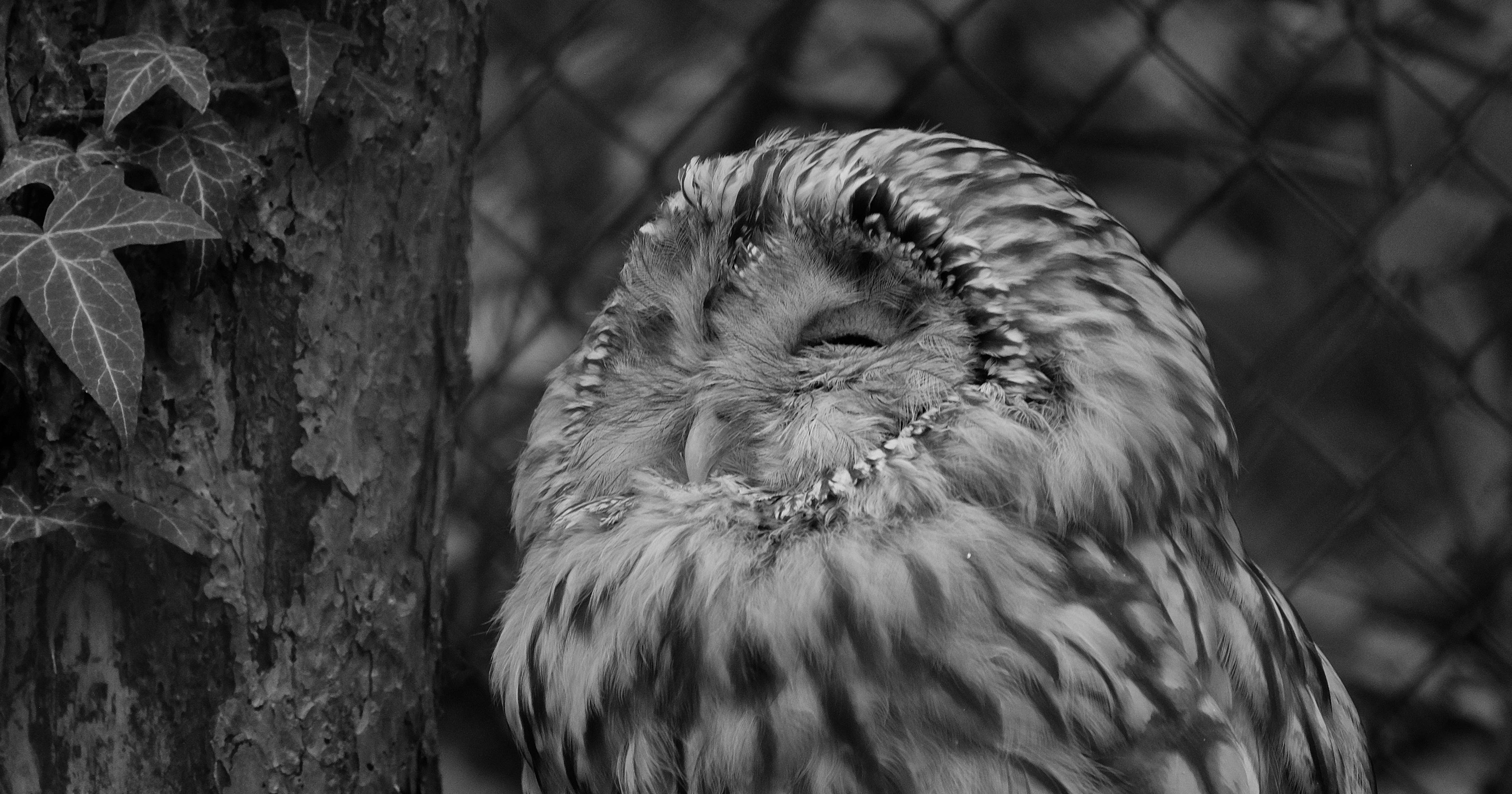 Uralkauz / Ural owl
